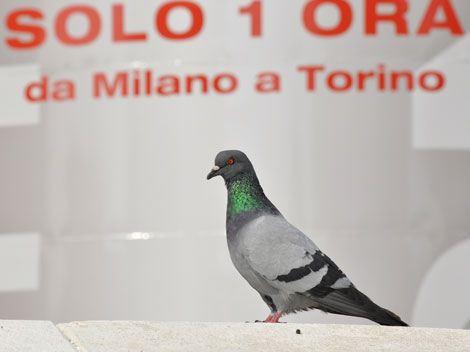 piccione-viaggiatore